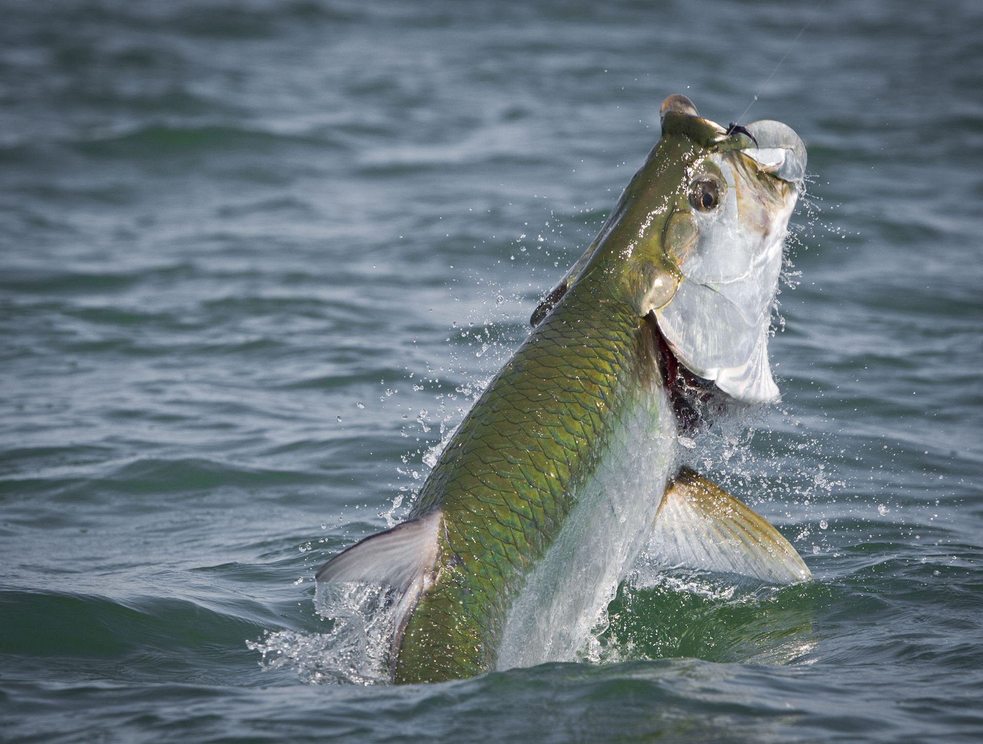 Florida tarpon fishing photo gallery swe for Florida tarpon fishing